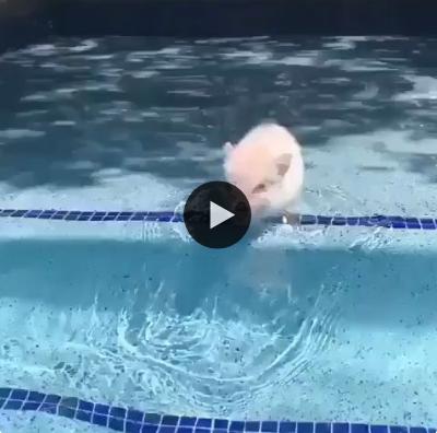 Como incentivar seu porquinho a dar um mergulho