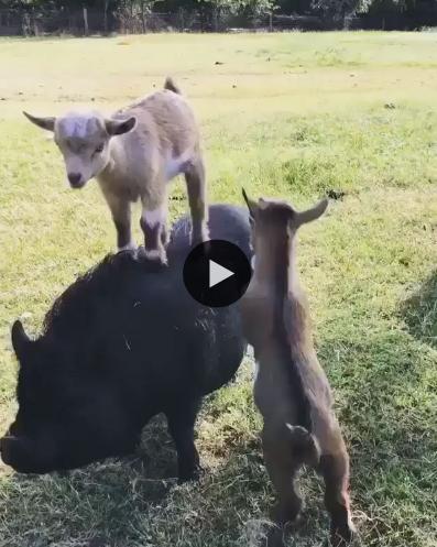 Essas cabrinhas estão achando que o porco é seu brinquedo
