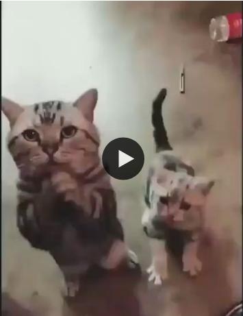 Gatinhos implorando por comida