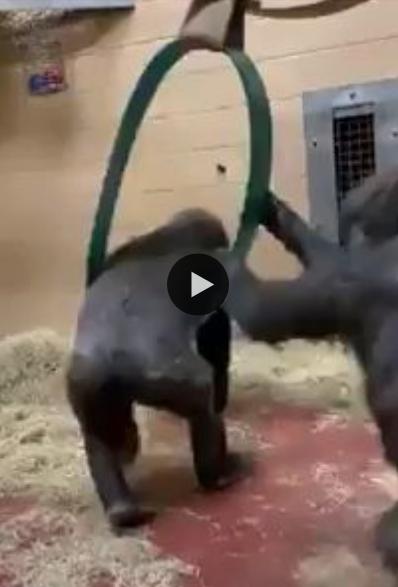 Esses gorilas adoram brincar e rodar no balanço