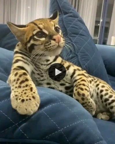 Esse gatinho não parece, ele é uma verdadeira onça