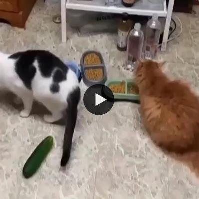 Os gatos e seu medo incontrolável de pepinos